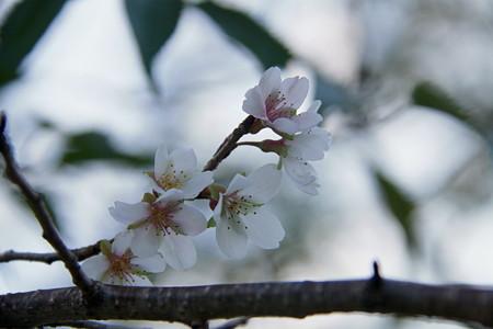 四季桜が咲き出しました。