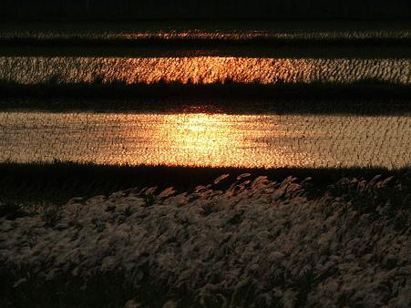 田圃染める夕陽