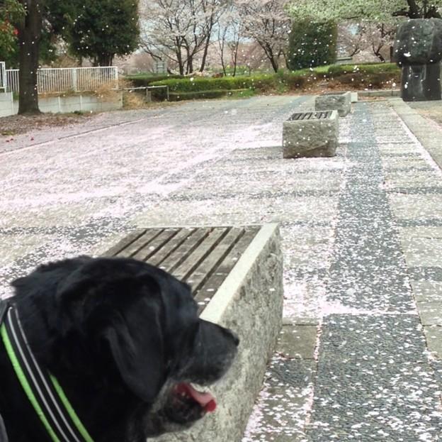 20130406 桜