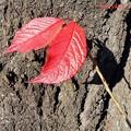 写真: 紅葉桜