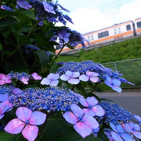 橙と紫陽花