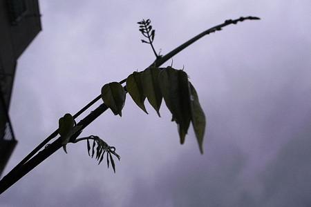 雨過の葉先