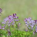 写真: 紫華鬘(むらさきけまん)