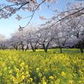中尾山桜の季節