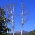 写真: 白樺木立