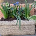 写真: 春の寄せ植え