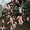 写真: 東峰神社の梅(杏?)
