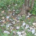 Photos: カラスの群れに襲われたびわの木