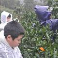 Photos: みかんの収穫
