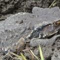 Photos: 庭で見かけたヒキガエル