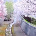 写真: 旧軽川桜並木