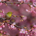 Photos: 河津桜♪