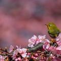写真: 桜色♪