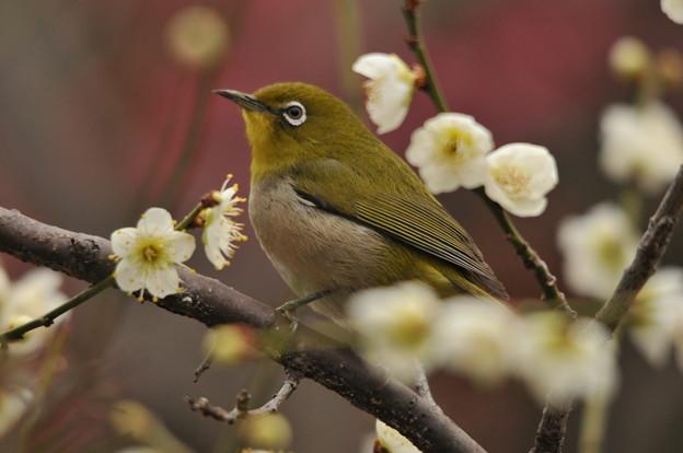 写真: 梅の香りに誘われて