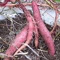 Photos: サツマイモ収穫3