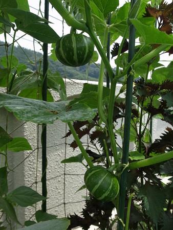 カボチャ の 育て 方 バターナッツ(かぼちゃ)の育て方!収穫時期の目安や方法など解説!