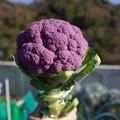 Photos: 紫カリフラワー2