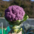 写真: 紫カリフラワー2
