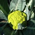 写真: 黄緑カリフラワー