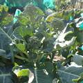 Photos: 茎ブロッコリー2