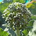 Photos: 茎ブロッコリー4