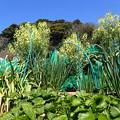 Photos: 茎ブロッコリー1