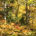 黄葉の樹林帯