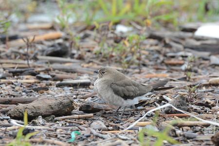 ツバメチドリ 幼鳥