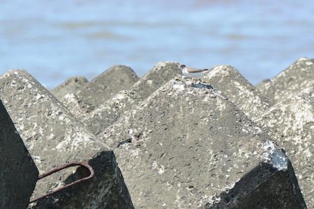 海で見たイソシギ