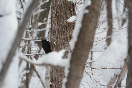 雪の中、鳴くクマゲラ