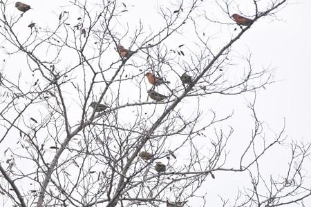 イスカ 17羽以上の群れ2