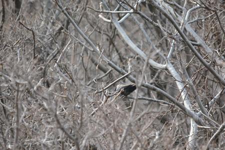 コクマルガラス幼鳥