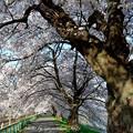 Photos: 一目千本桜