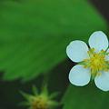 Common Strawberry 5-27-12
