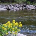 写真: Yellow by the Stream 5-25-14