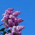 Lilac 5-29-14