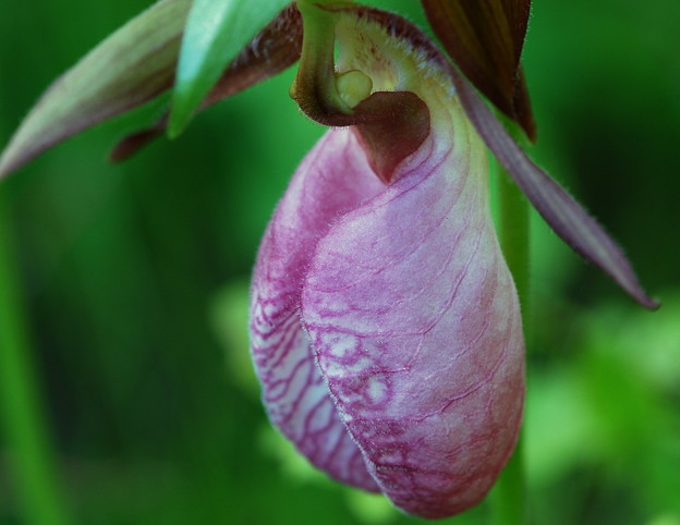 Pink Lady's Slipper II 5-31-14