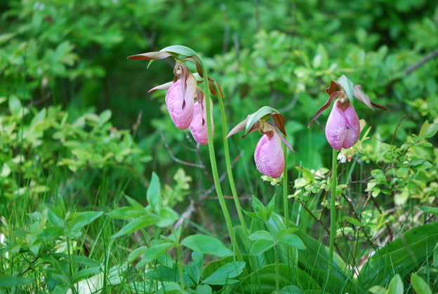 Pink Lady's Slippers 5-31-14