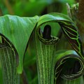 Jack-in-the-Pulpits 5-31-14