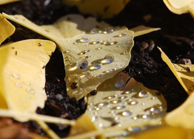 Photos: Fallen Ginkgo I 10-17-15
