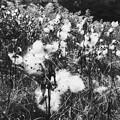 Milkweed II 10-7-15
