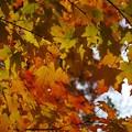 Photos: Maple Leaves II 10-24-15