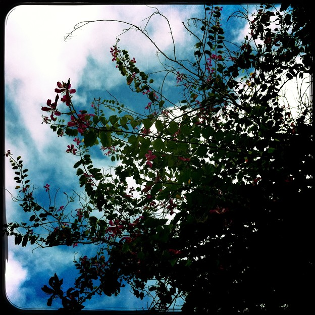 Orchid Tree in the Sky 12-30-15