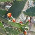 写真: Florida Semaphore Cactus 2-18-16