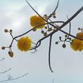 写真: Double Buttercup Tree 3-8-16