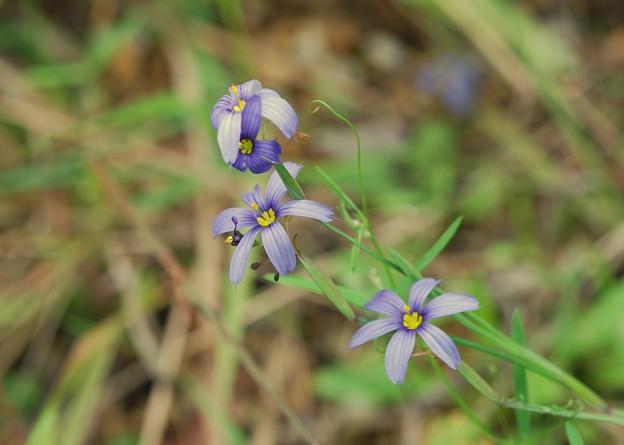 Photos: Blue-Eyed-Grass 3-8-16