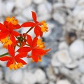 Photos: Fire-Star Orchid 3-8-16