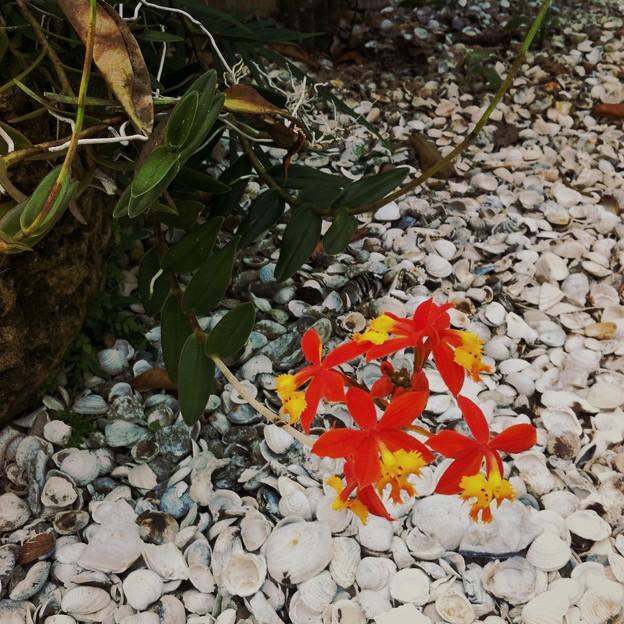 Ground-Rooting Epidendrum 3-8-16