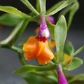 Photos: Orchid 'Hawaii' 3-8-16