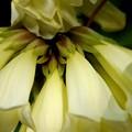 写真: New Guinea Trumpet Vine 3-8-16